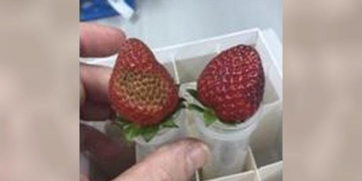 Stratégie immunitaire du fraisier
