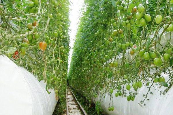 tomates-serres